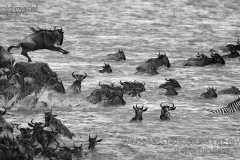 2nd_D-02FIAPG-PerngYun-Feng-Taiwan-WILDEBEEST-CROSSING-THE-RIVER-2b